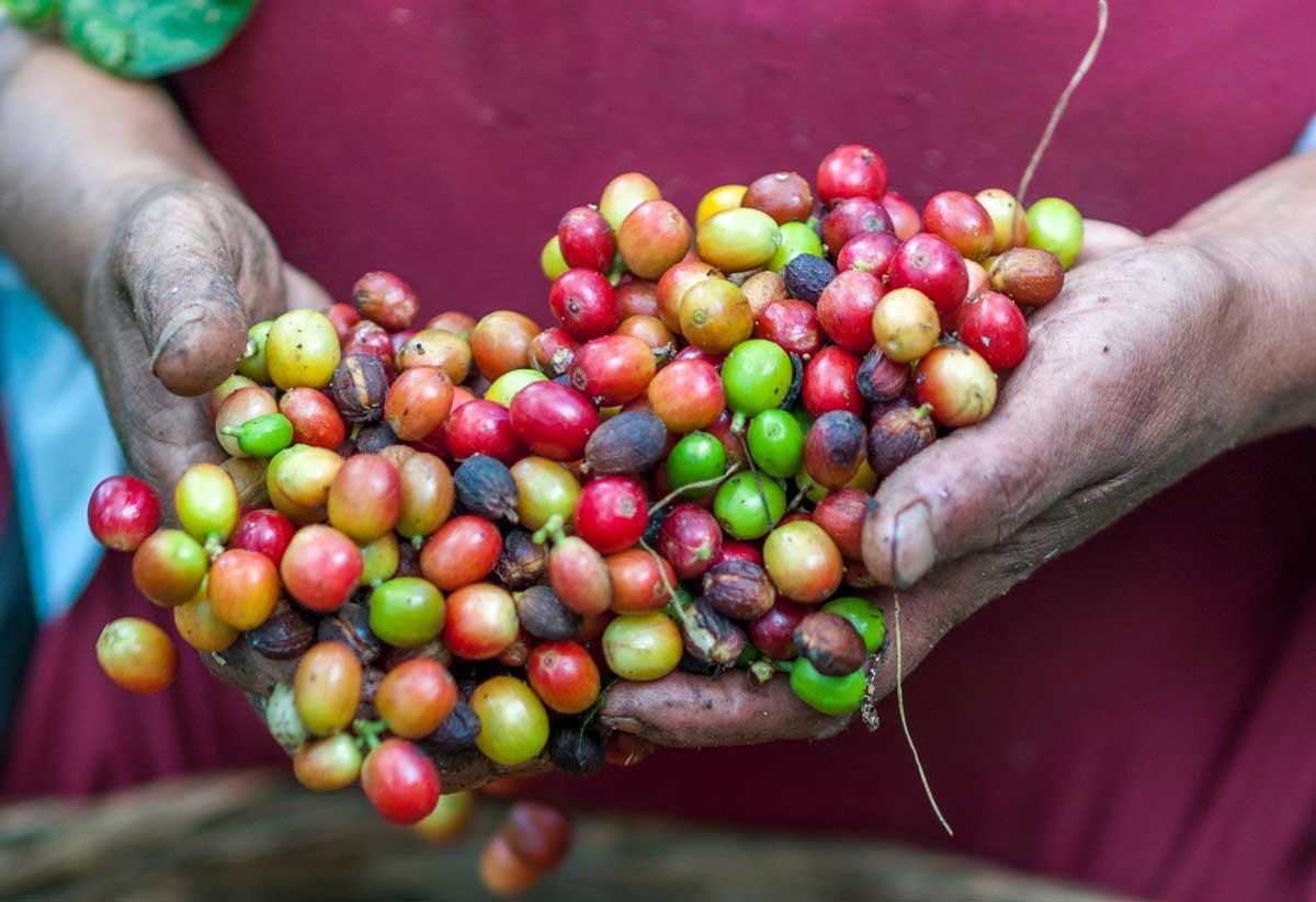 Kaffeebohnen im El Salvador Podcast
